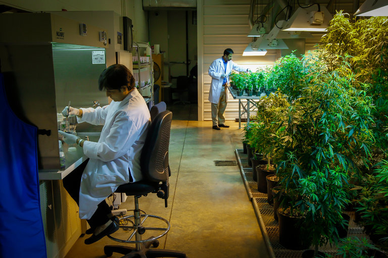 Federal cannabis farm at the University of Mississippi