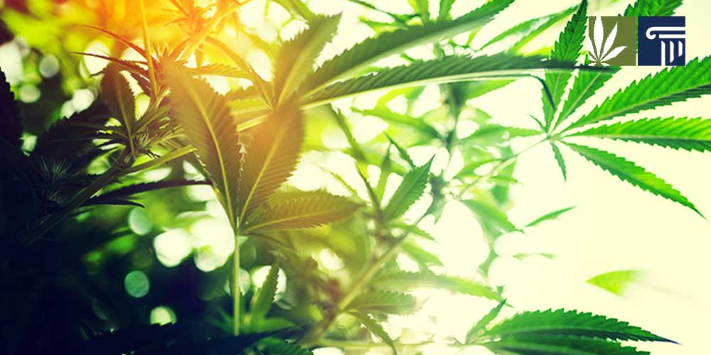 Oregon medical marijuana admits lack of oversight