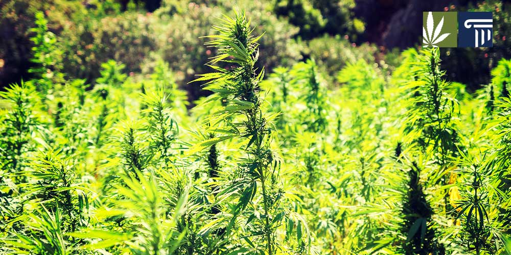 industrial hemp cultivation rising