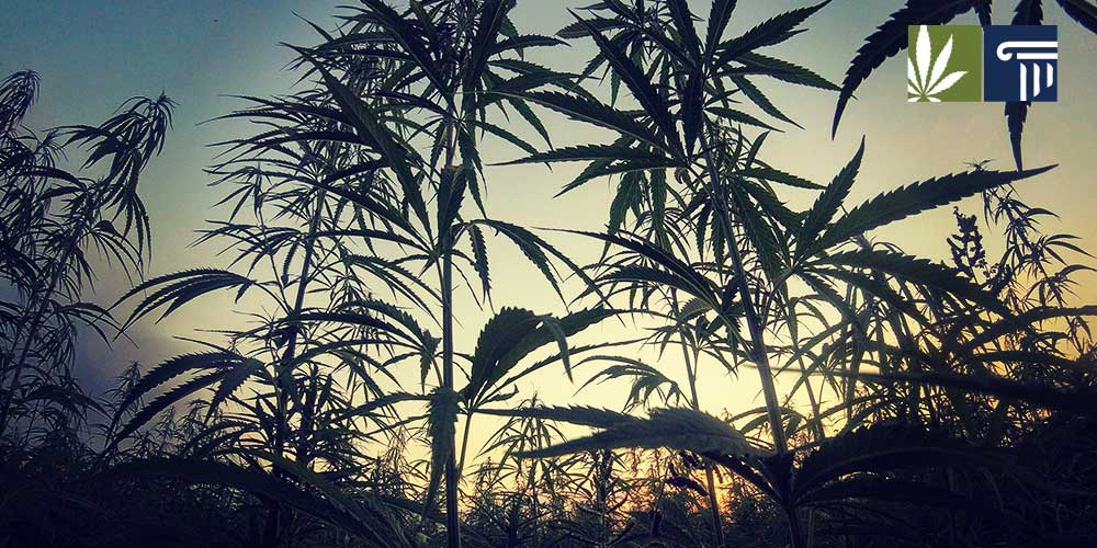 oregon marijuana cultivation surplus