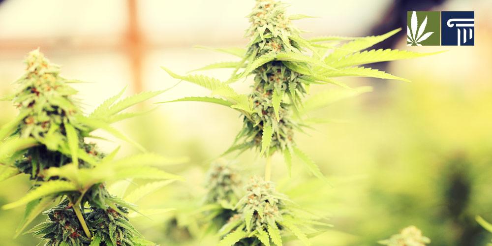 washington 2.0 cannabis