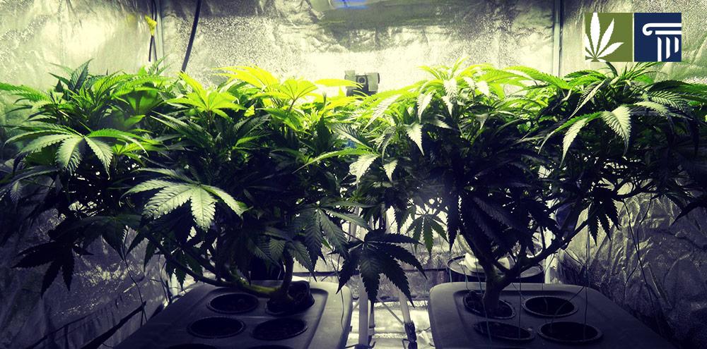 new jersey marijuana cultivation felony