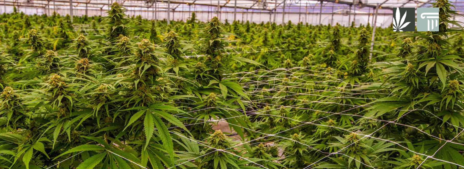 DEA License Marijuana Growing Applicants FDA-Approved Research
